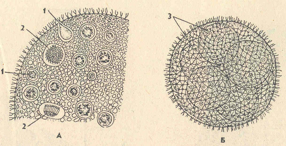 вольвокс под микроскопом