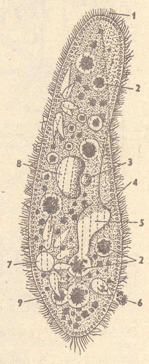 Рис1.Инфузория - туфелька