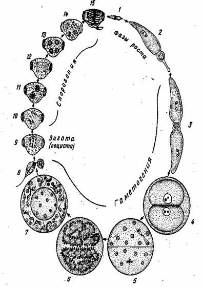 Цикл развития грегарины