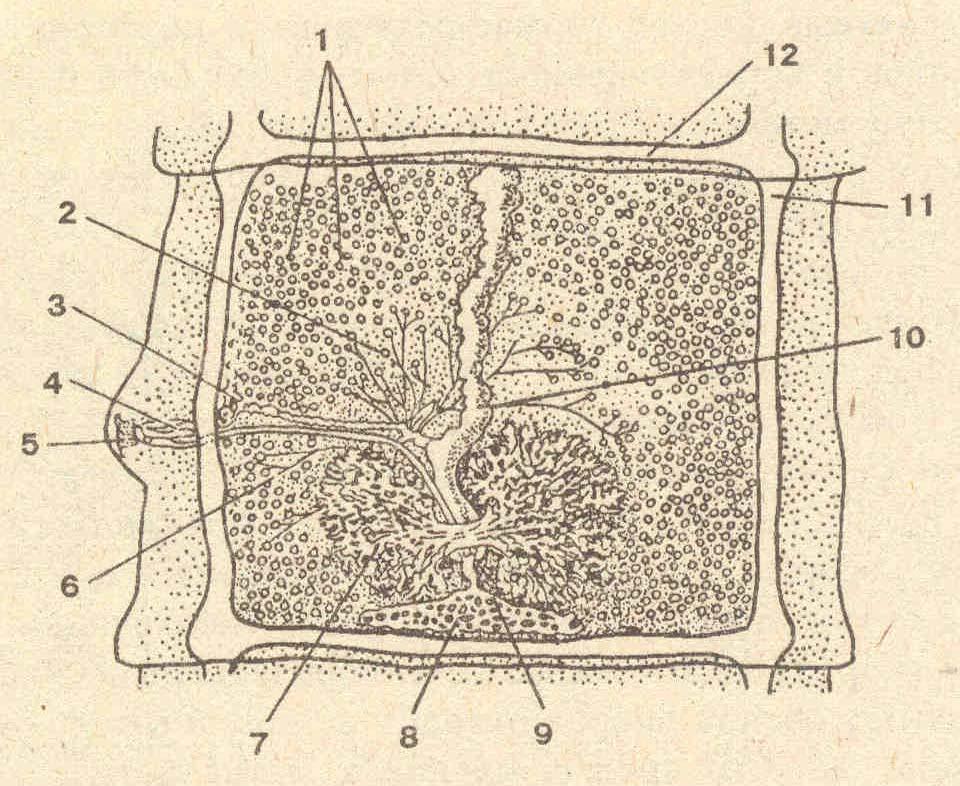 Рис 1 строение сколексов цестод по