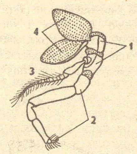 Схема строения конечности