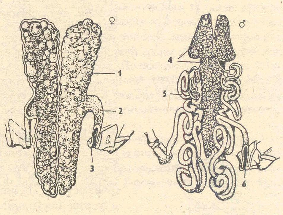 система речного рака (по