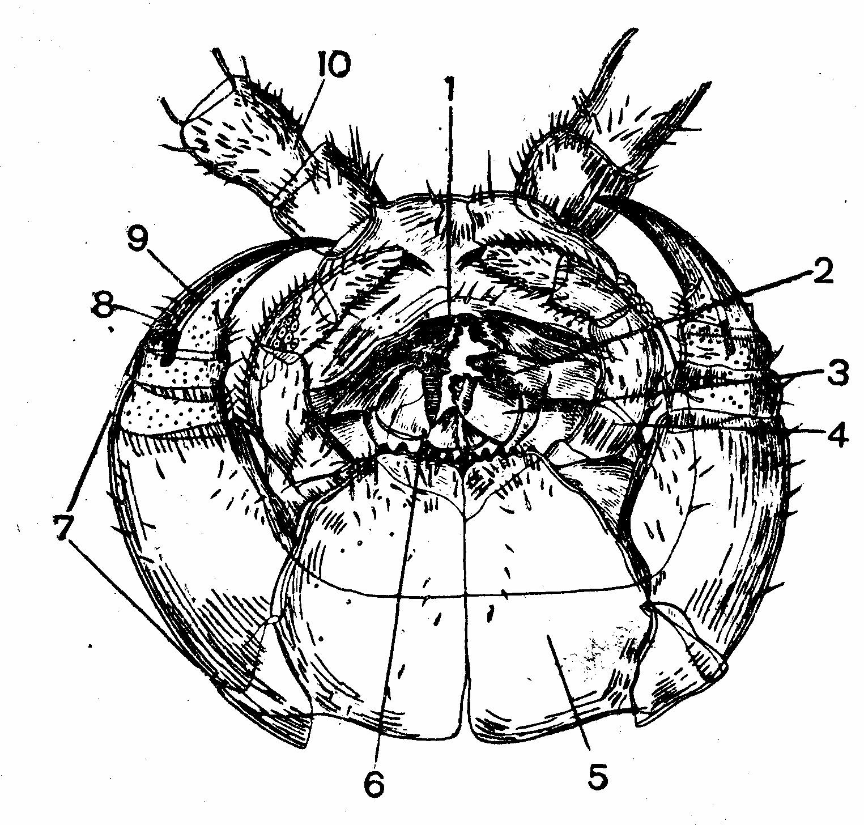 костянка вид половых органов