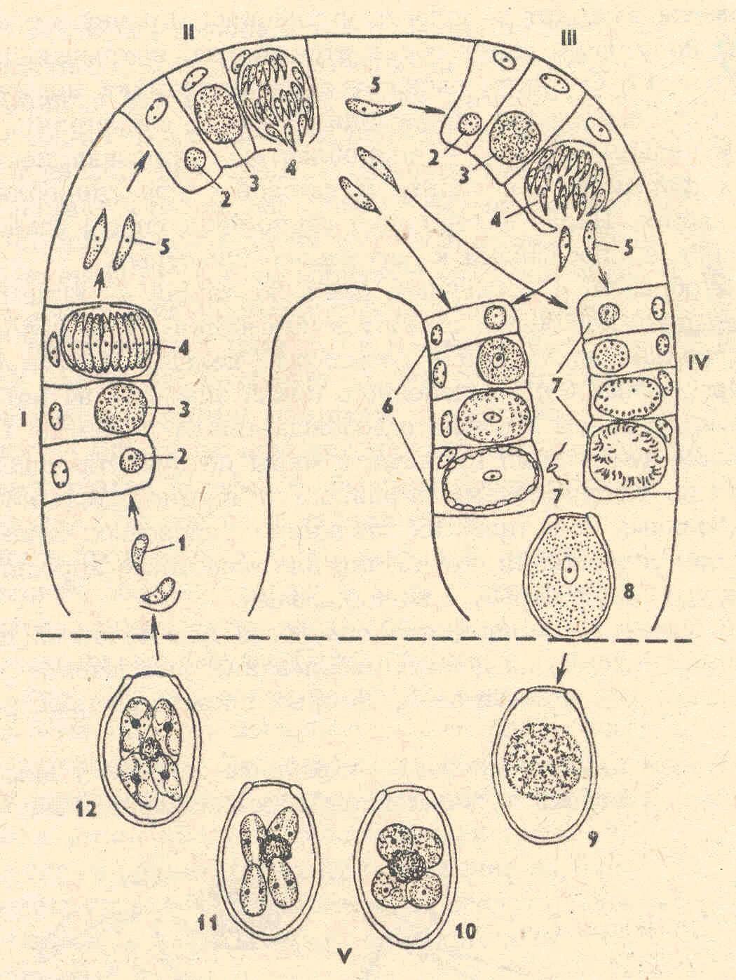 вывод паразитов из организма