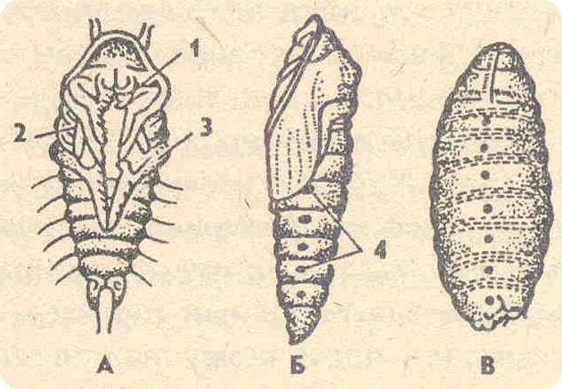 личинка (майский жук);
