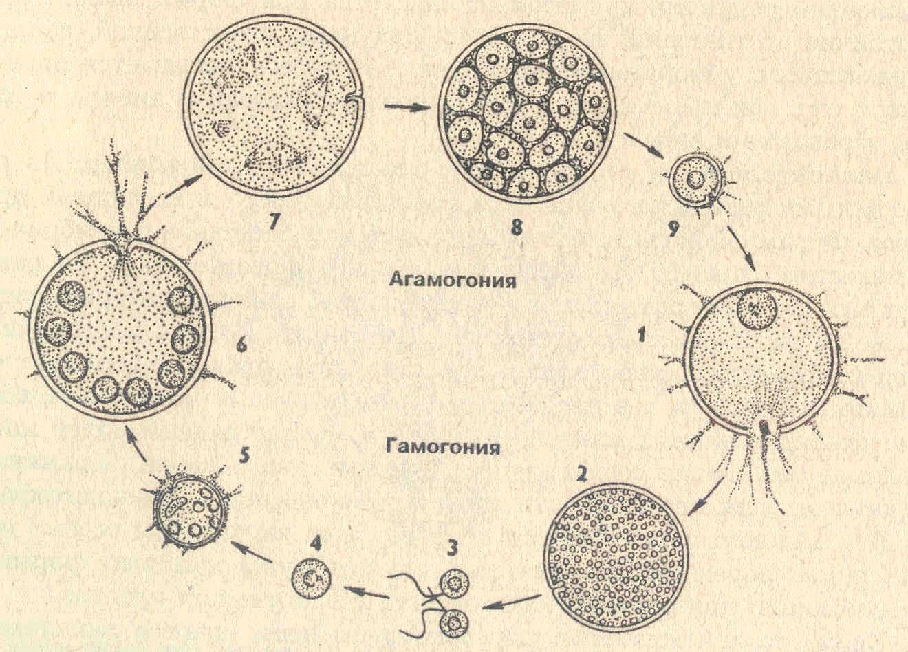 Жизненный цикл хламидомонады схема с подписями