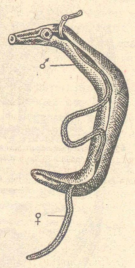 Кровяной сосальщик Schistosoma