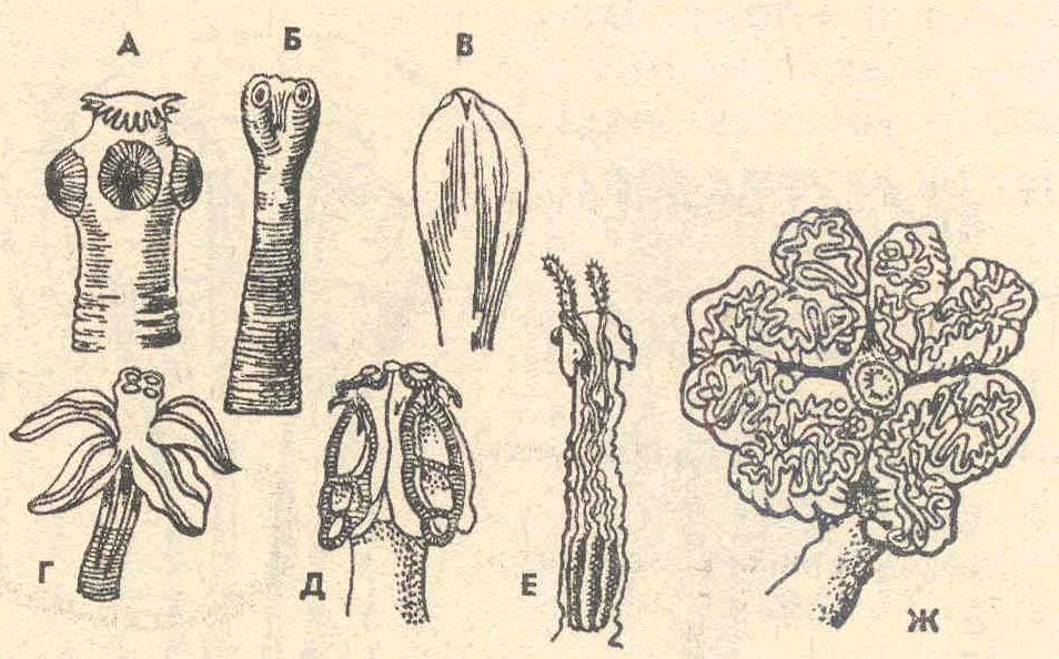 паразит солитер в организме человека видео