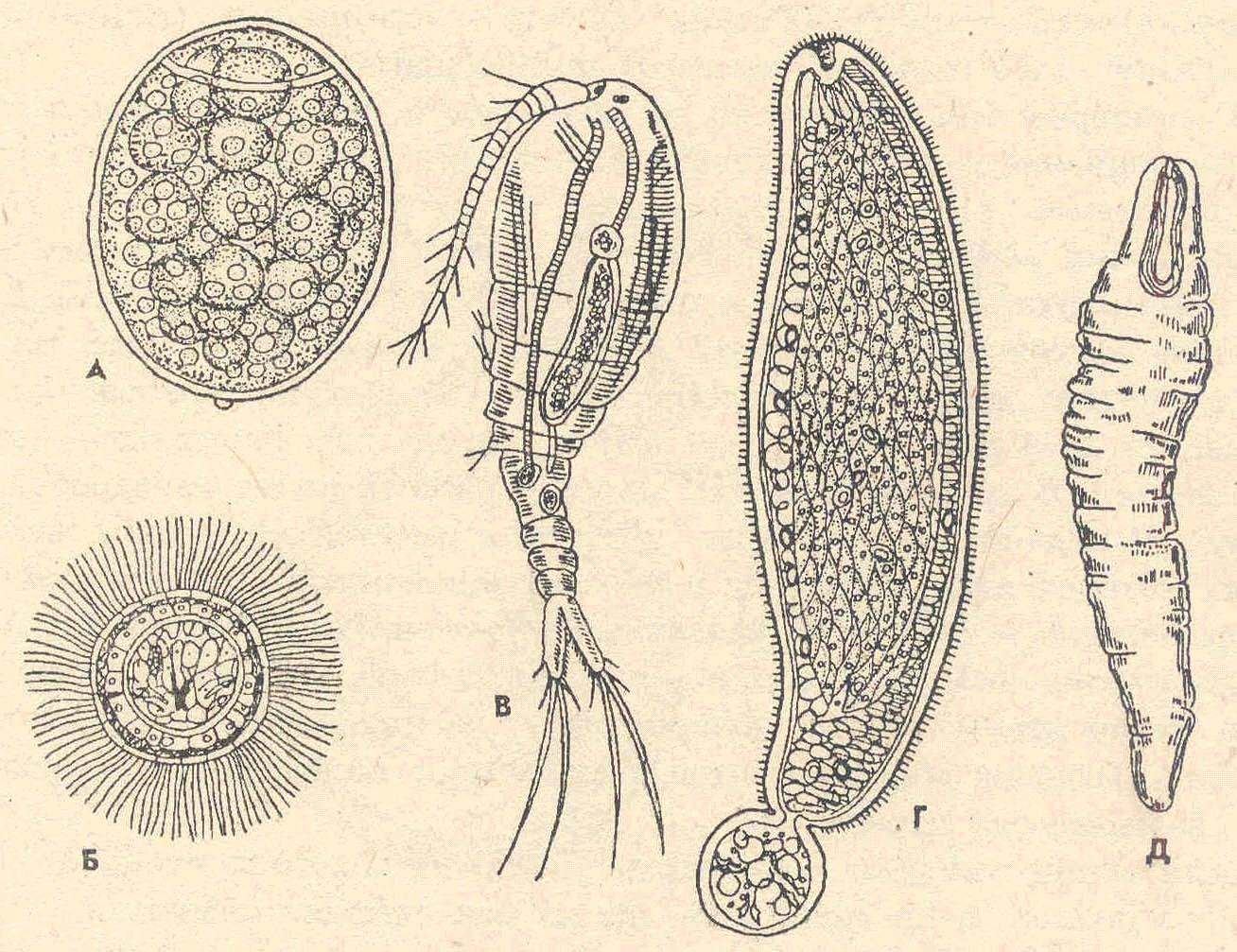 Плероцеркоид фото