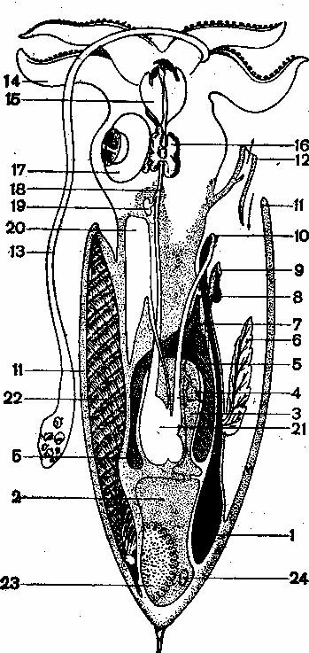 Схема строения самки кара