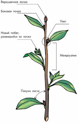 Схема строения вегетативной а и генеративной б почек продольный разрез: В процессе эволюции у растений выработались...