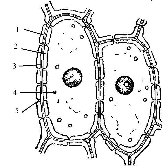 Рисунок строение растительной клетки