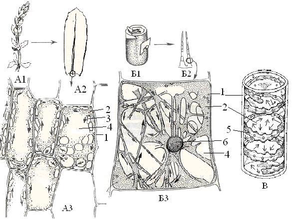 Школьники рассматривают под световым микроскопом при увеличении 100 и 400 раз клетки листа водного растения- элодеи и...
