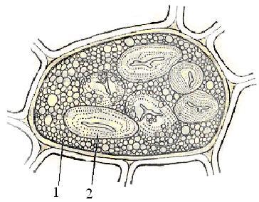 Рисунок алейронового зерна в клетке эндосперма зерновки пшеницы