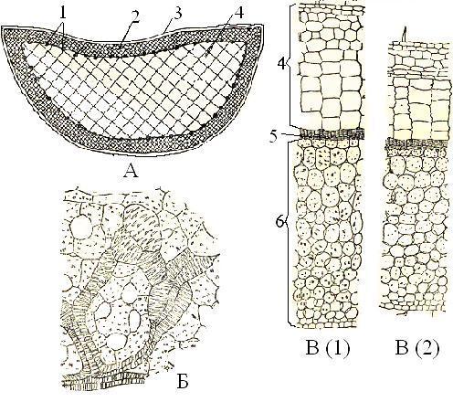 Ткани, запасающие воду
