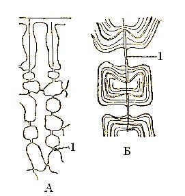 Схема поперечного среза стебля