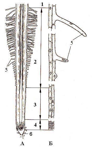 А - схема строения корня; Б - дифференциация клеток ризодермы и экзодермы.  1 - зона проведения, 2 - зона всасывания...
