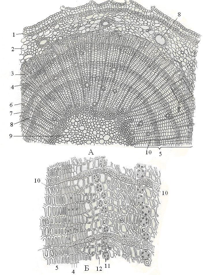 Строение стебля голосеменного растения