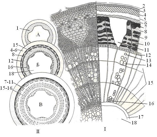 Анатомическое строение стебля бузины