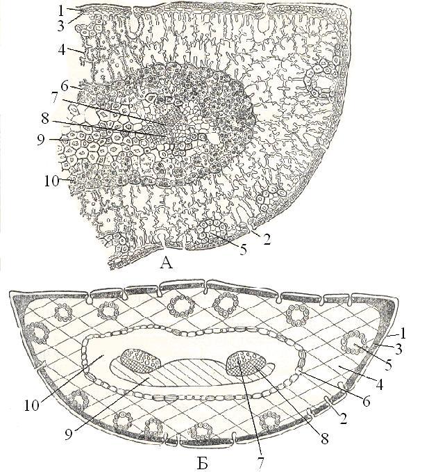 Строение листа (хвои) сосны