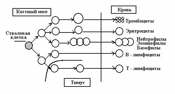 Задание 6 . Объясните приведенную схему образования клеток крови и иммунной системы.  Задание 5. Рассмотрите под...